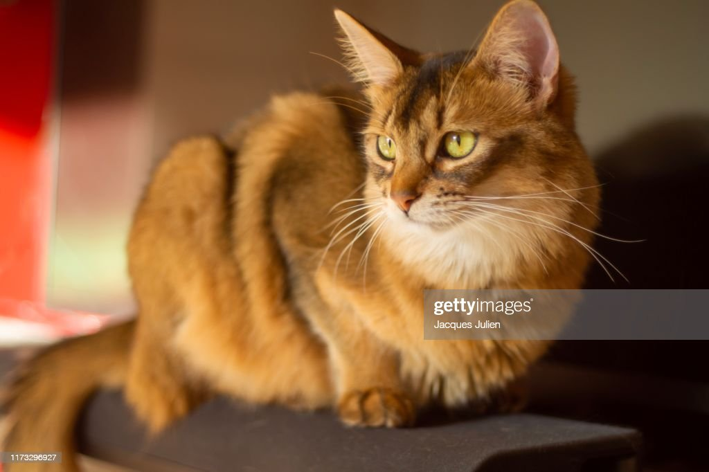 Pedigree orange Somali cat portrait : Photo