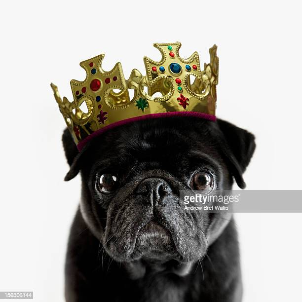 pedigree pug wearing a crown against white - pampered pets stock pictures, royalty-free photos & images