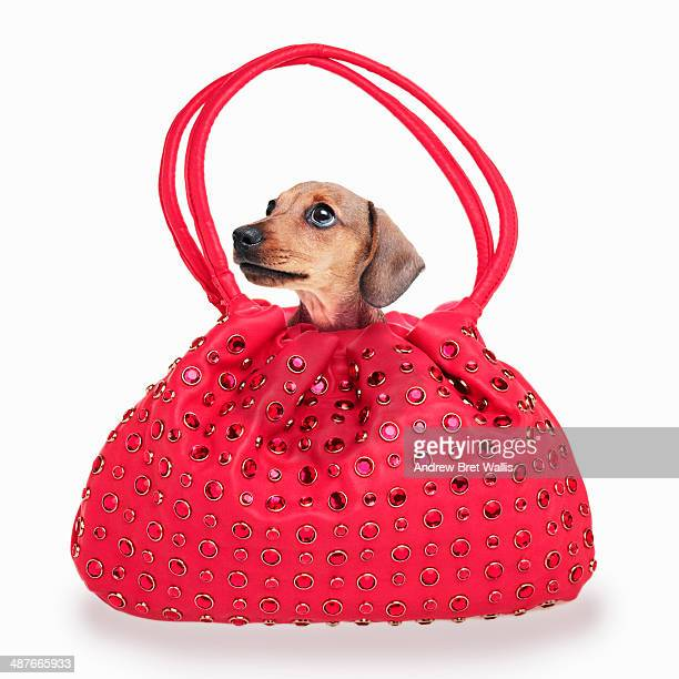 Pedigree puppy in a handbag
