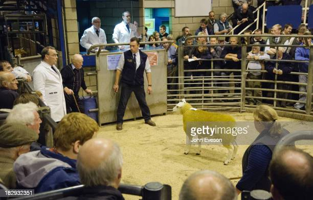CONTENT] Pedigree Texels sheep in a sale ring