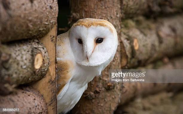 Peek-a-boo Barn Owl