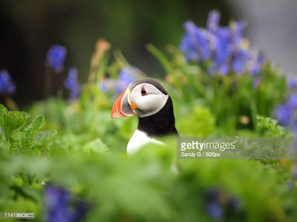 peek-a-boo puffin - precious lunga stock pictures, royalty-free photos & images