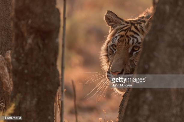 peek-a-boo tiger - hunting stock pictures, royalty-free photos & images