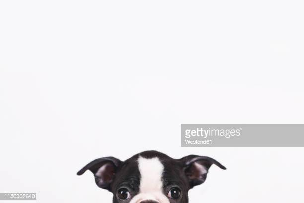 peeking boston terrier puppy in front of white background - boston terrier stock pictures, royalty-free photos & images