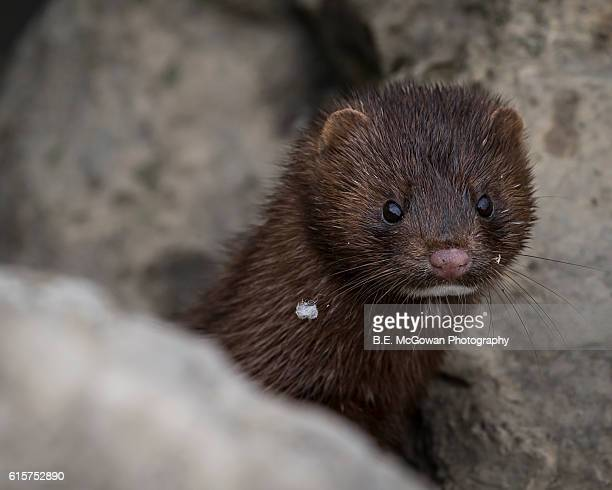 peeking mink - mink animal stock pictures, royalty-free photos & images