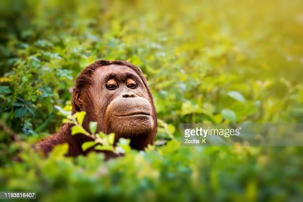 peeking orangutan portrait - great ape stock pictures, royalty-free photos & images