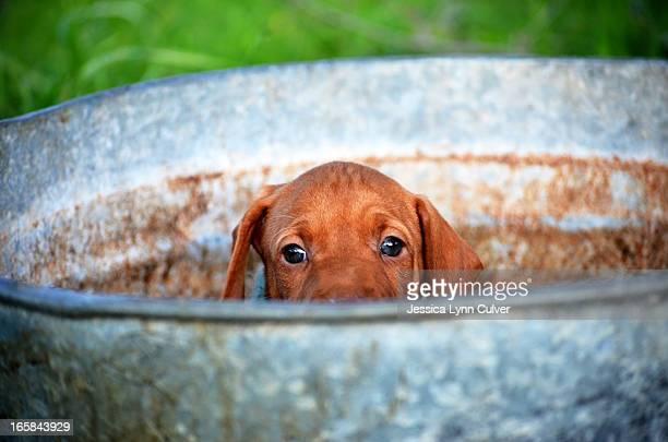 peeking vizsla puppy - たらい ストックフォトと画像
