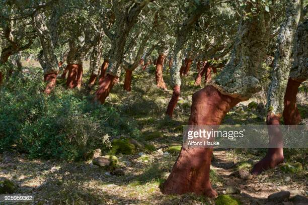 peeled cork oak (quercus suber), plantation, gesturi, giara di gesturi, sardinia, italy - cork tree stock photos and pictures