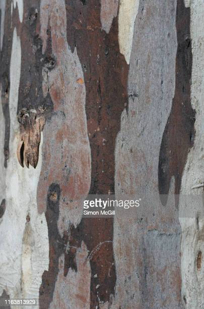 peeling bark on a eucalyptus tree trunk - mottled skin stock pictures, royalty-free photos & images