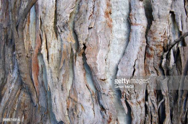 peeling bark on a eucalytus tree trunk - eucalyptus tree stock pictures, royalty-free photos & images