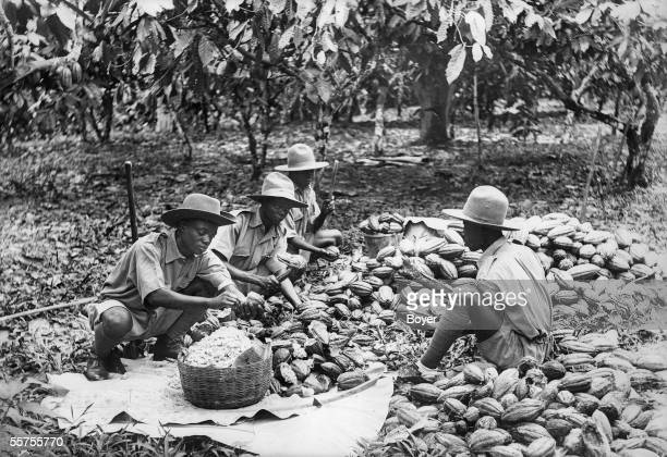 Peeling of 'dent' of cocoa Ghana by 1930 BOY15968