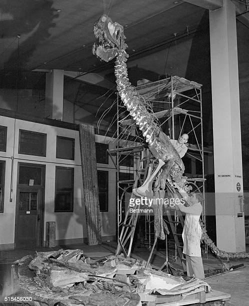 Peering into the jaws of a prehistoric killer is Cam Gifford preparator of exhibits at the Chicago Natural History Museum The skeleton is that of a...