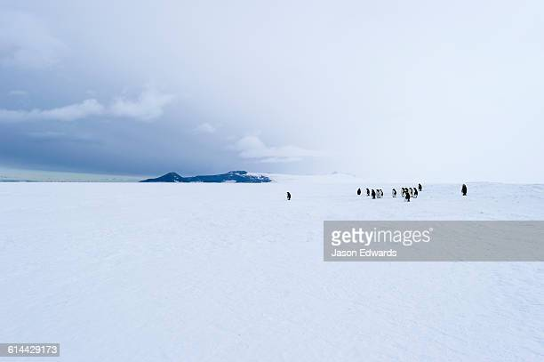 A small group of Emperor Penguins gathered on the vast sea ice.