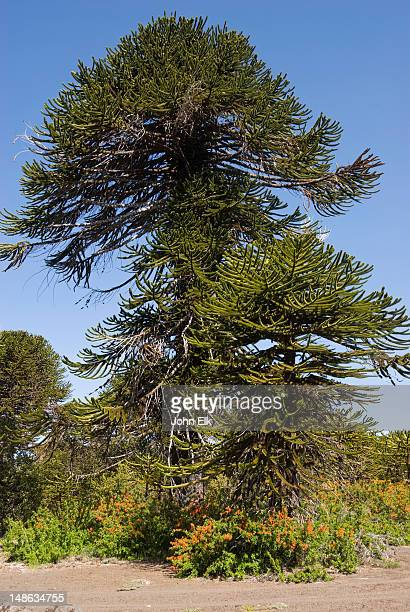 pehuen (araucaria monkey puzzle) tree. - argentina stock pictures, royalty-free photos & images