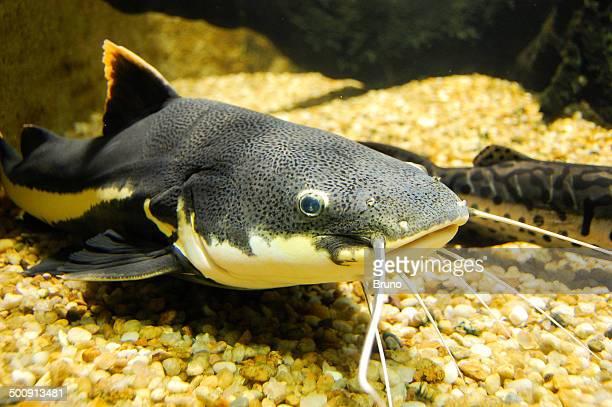 peixe bagré - catfish stock photos and pictures