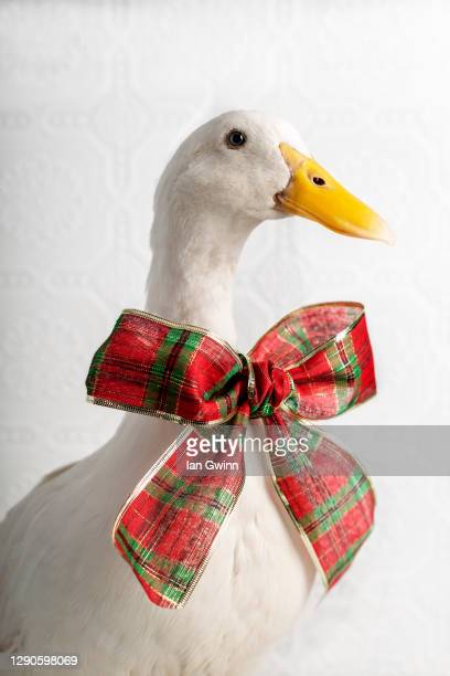 pekin duck in red and green bow - ian gwinn stock pictures, royalty-free photos & images