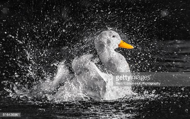 pekin duck making a splash in the park - pekin duck stock pictures, royalty-free photos & images