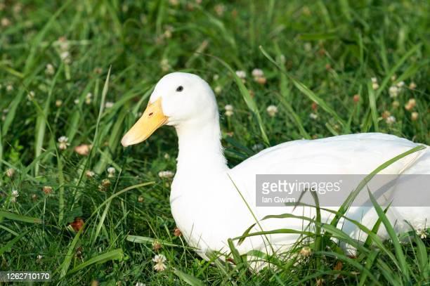pekin duck - ian gwinn photos et images de collection
