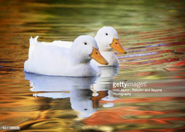 pekin ducks in fall reflections at massapequa preserve - pekin duck stock pictures, royalty-free photos & images