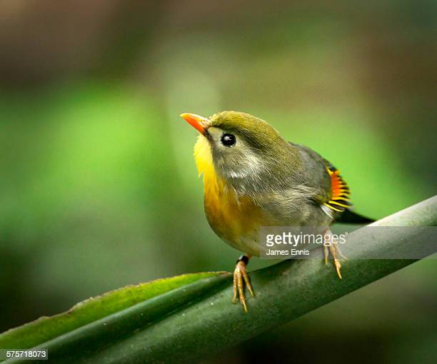 pekin robin - chester zoo stock pictures, royalty-free photos & images