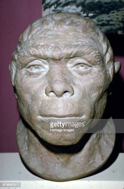 Peking Man Reconstruction of Head from fossil evidence c20th century Peking man extinct hominin of the species Homo erectus known from fossils found...