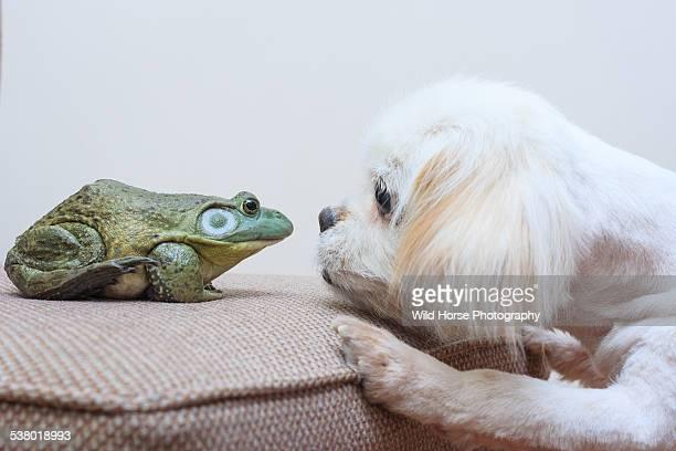 Pekingese and bullfrog first meeting