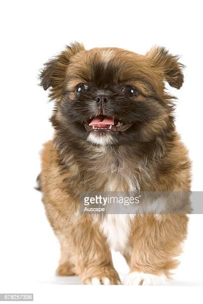 Pekingese Canis familiaris puppy studio photograph