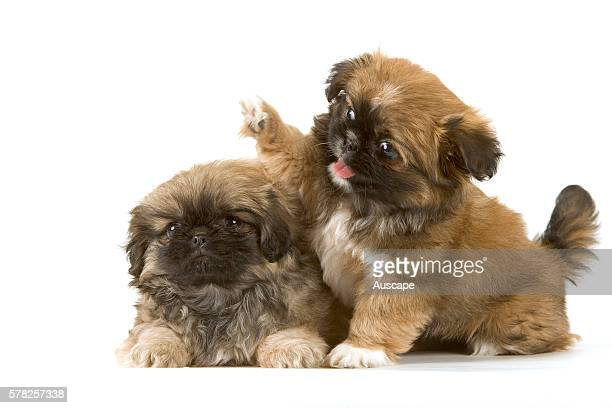 Pekingese Canis familiaris two puppies studio photograph