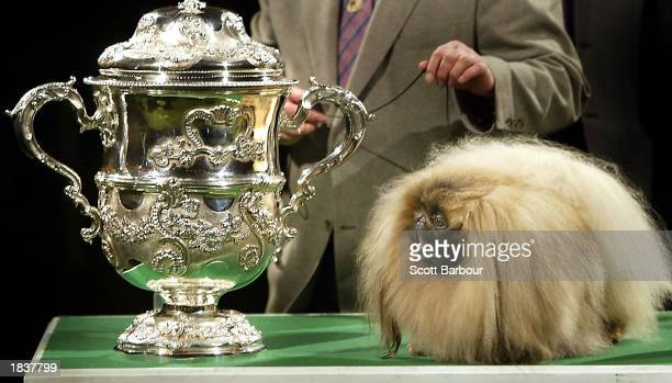 Pekingese dog Ch Yakee A Dangerous Liason looks at the winner's trophy after placing 'Best In Show' at Crufts dog show March 9 2003 in Birmingham...
