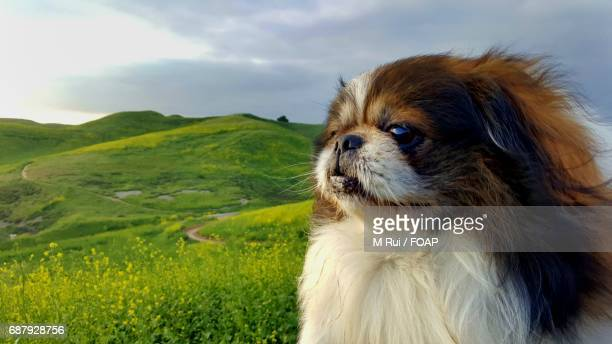 Pekingese dog looking away