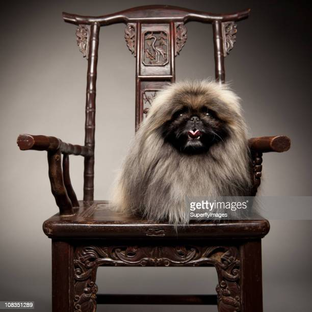 Pekingese Dog Sits on 19th Century Chair Like Royalty.