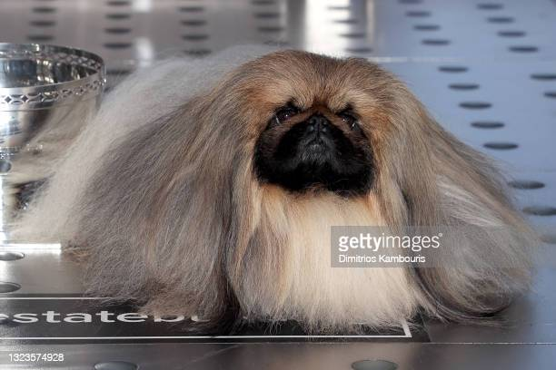 """Pekingese dog """"Wasabi,"""" Best in Show winner of the 145th Westminster Kennel Club Dog Show, visits The Empire State Building on June 14, 2021 in New..."""