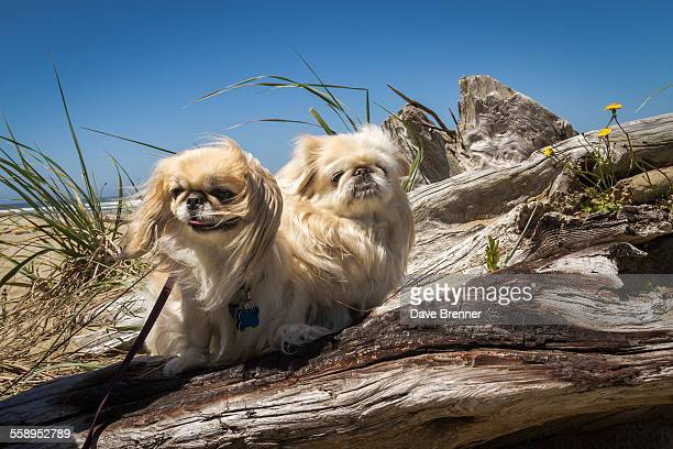 Pekingese dogs enjoying a day at the beach