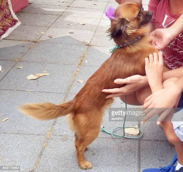 Pekingese dogs receiving pampering from people