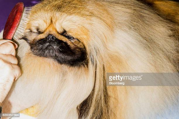A Pekingese is brushed backstage during the 141st Westminster Kennel Club Dog Show in New York US on Tuesday Feb 14 2017 The Westminster Kennel Club...