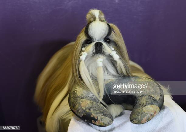 A Pekingese is seen in the benching area during Day One of competition at the Westminster Kennel Club 141st Annual Dog Show in New York on February...