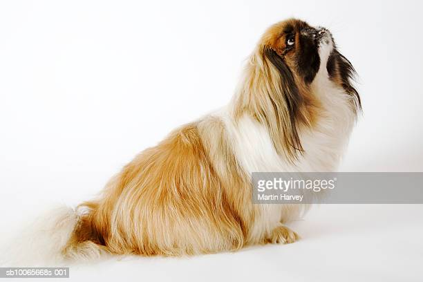 Pekingese on white background, looking up, side view