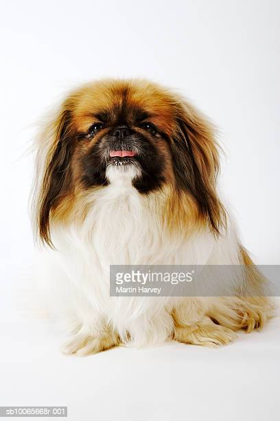 Pekingese on white background