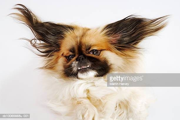 Pekingese on white background with ears extended