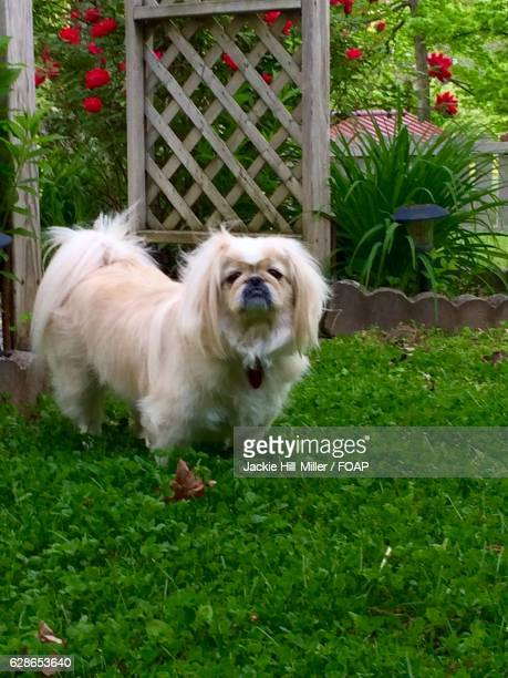 Pekingese standing in grass