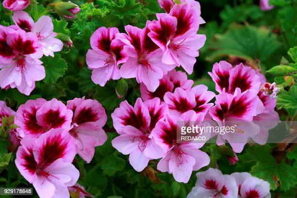 Pelargonium Angel 'Catford Belle'