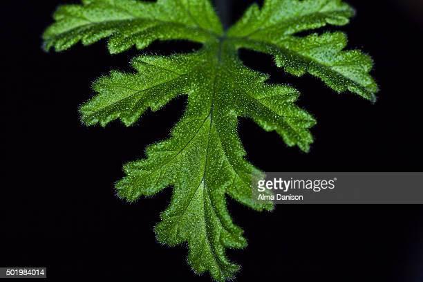 pelargonium citrosum leaf (mosquito plant or citrosa geranium) - alma danison fotografías e imágenes de stock
