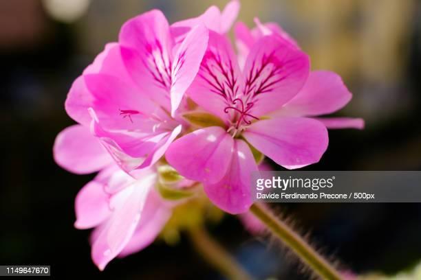 pelargonium graveolens - midsommarblomster bildbanksfoton och bilder