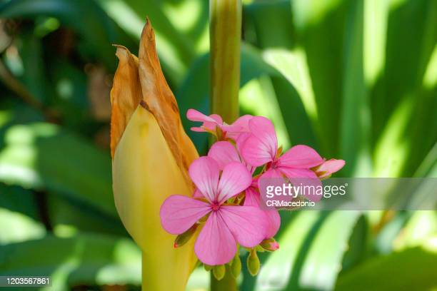 pelargonium hortorum (geranium) with an etlingera elatior (torch ginger), and in background a wall of agave sisalana. - crmacedonio fotografías e imágenes de stock