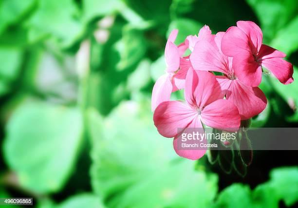 Pelargonium peltatum in bloom