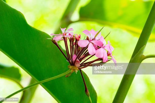 pelargonium - crmacedonio stock pictures, royalty-free photos & images