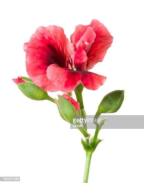 Pelargonium (geranium).