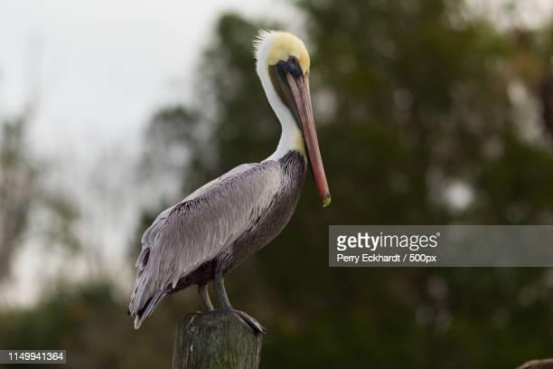 pelecanus occidentalis - brown pelican stock photos and pictures