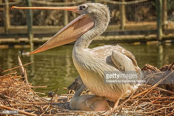 pelican and baby - escondido california stock photos and pictures