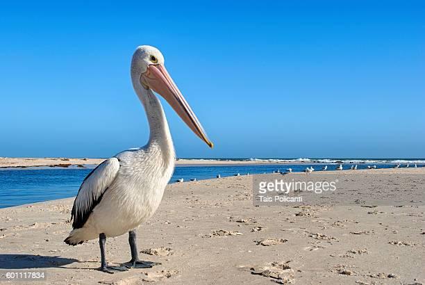 pelican at adelaide beach in south australia, oceania - adelaide stock-fotos und bilder